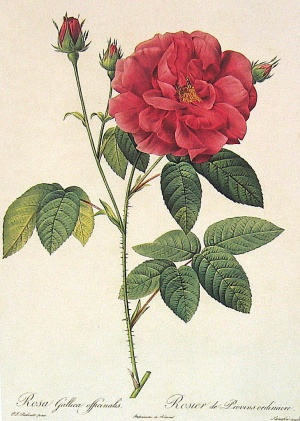 Rosa gallica officinalis.jpg